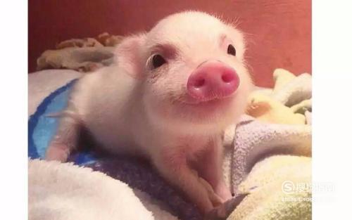 猪传染性胸膜肺炎的防治