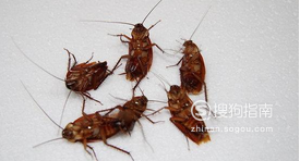 怎样有效杀死蟑螂