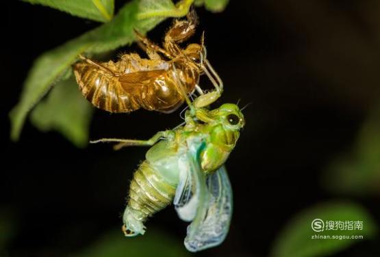 蝉的一生----蝉是如何繁衍的