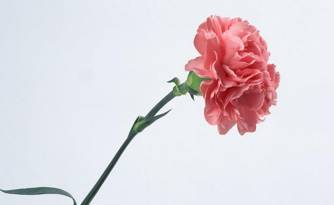 三八妇女节应该送什么花